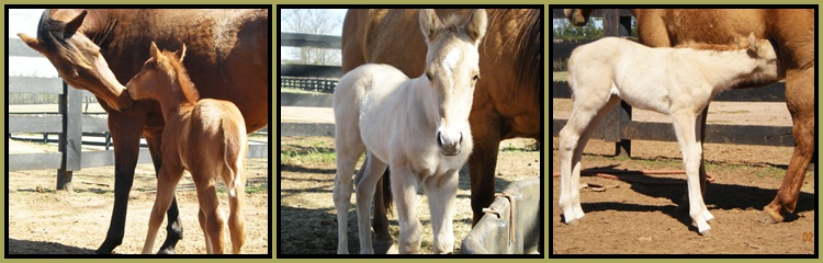 Little Creek Quarter Horse Foals