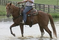 Water Training for Ranch Horse gelding